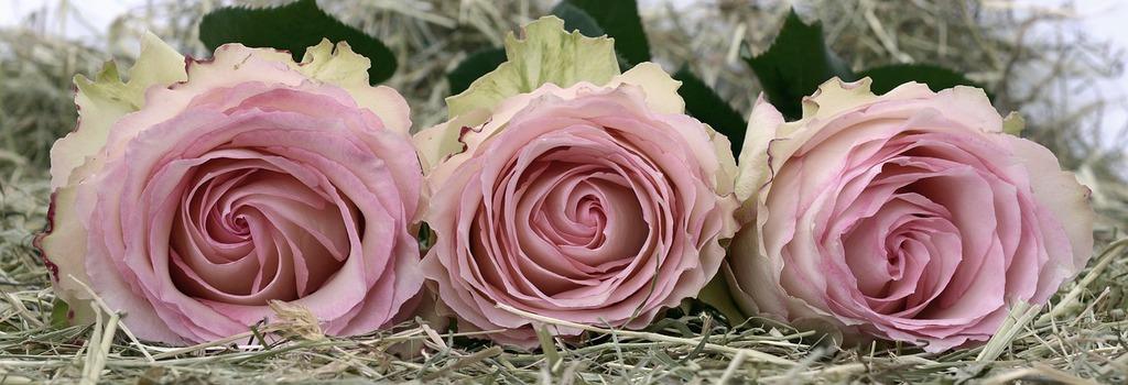roses-2090840_1280.jpeg